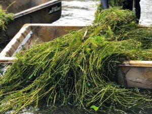 Bucket of invasive plants that were removed from the San Marcos River