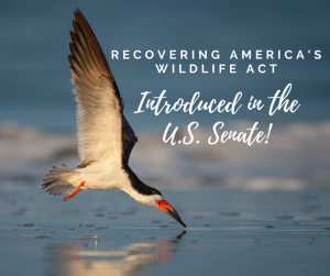 """A waterbird grazing over water with text """"Recovering America's Wildlife Act introduct in the U.S. Senate"""""""