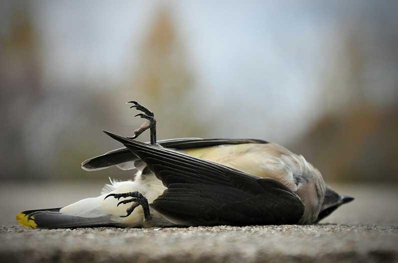 Dead Song Bird On Asphalt