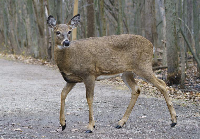 A Deer Crossing A Road