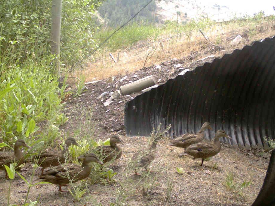 Ducks Using A Wildlife Tunnel