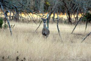 Whitetail deer standing in tall grass