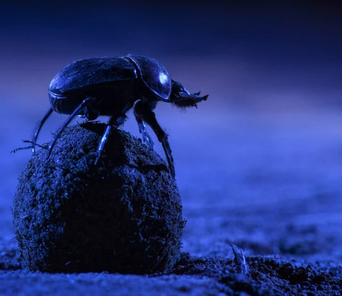Dung Beetles In South Africa Keep Their Treasure Rolling In A Straight Line At Night By Orienteering With The Milky Way