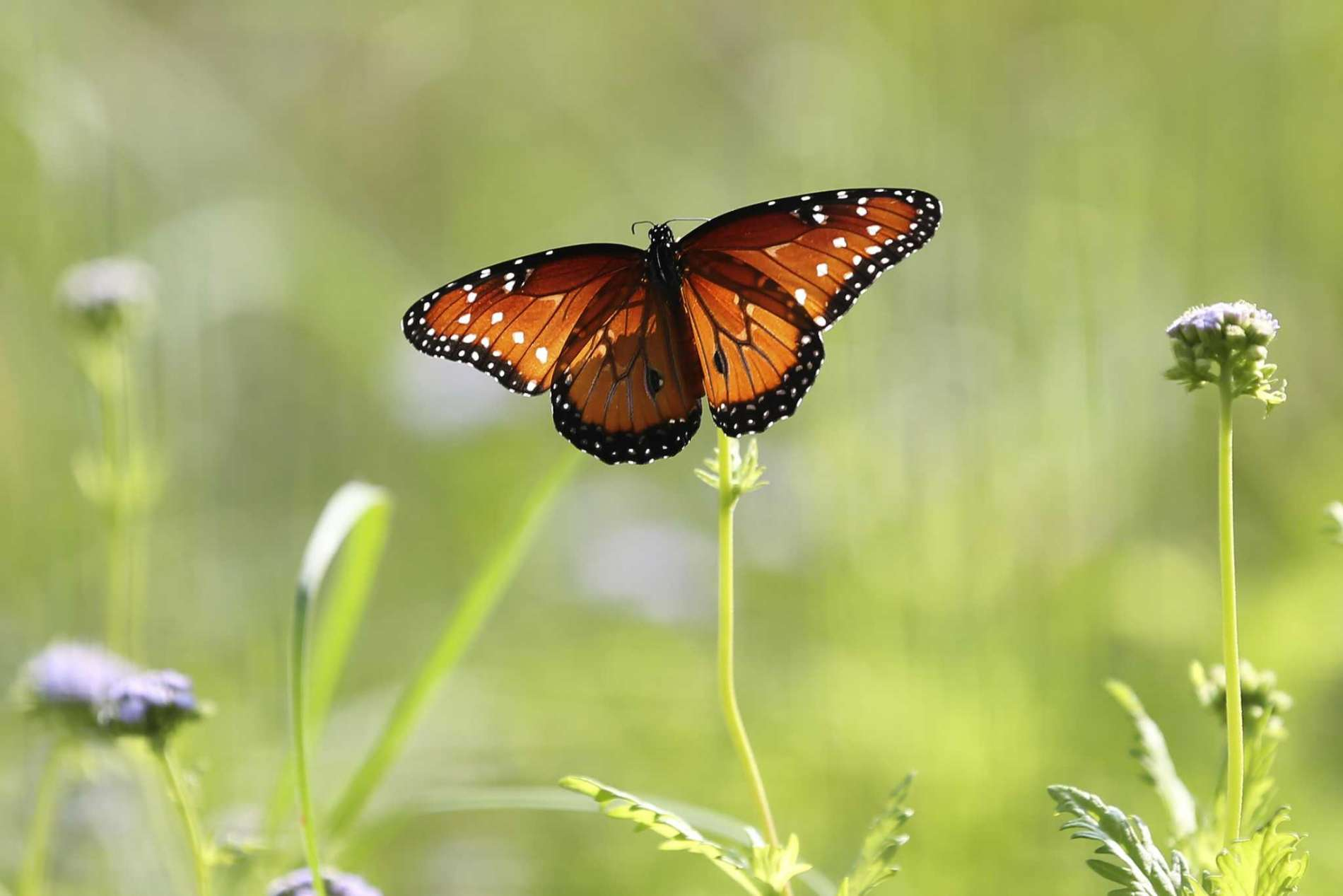 A Queen Butterfly Sitting On A Flower