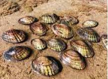 Freshwater Mussels In Guadalupe River Could Go On Endangered List Because Waters They Live In Have Changed